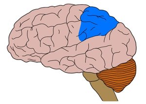 posterior-parietal-cortex